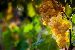 Uvas que crecen en viñedo Foto de archivo