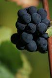 Uvas que crescem lateralmente Imagens de Stock