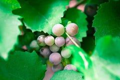 Uvas que crescem na natureza Foto de Stock Royalty Free