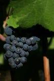 Uvas que deixam cair para baixo Imagem de Stock Royalty Free