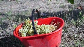 Uvas que estão sendo colhidas filme