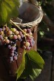 Uvas que son casi maduras Fotografía de archivo libre de regalías