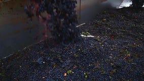Uvas que son descargadas en el viñedo almacen de video