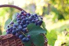 Uvas recentemente colhidas Fotos de Stock
