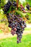 Uvas rojas Imagen de archivo libre de regalías
