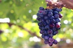 Uvas rojas con las hojas verdes en el viñedo fotos de archivo