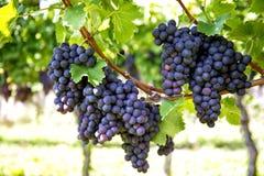 Uvas rojas con las hojas verdes en la vid Plantón de frutal de la uva de la vid Imagenes de archivo