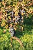 Uvas rojas de la vid Fotos de archivo