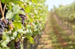 Uvas rojas de maduración en un viñedo con el espacio de la copia Fotos de archivo