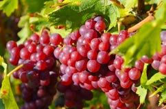Uvas rojas en caída Fotos de archivo