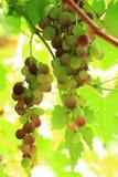 Uvas rojas en el sol Foto de archivo libre de regalías
