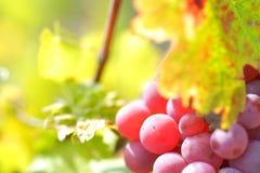 Uvas rojas en el viñedo Imagen de archivo libre de regalías