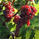 Uvas rojas en la luz del sol fotos de archivo libres de regalías