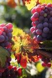Uvas rojas en la vid Imagen de archivo