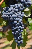 Uvas rojas en la vid Foto de archivo libre de regalías