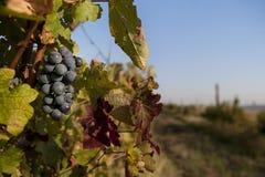 Uvas rojas en la vid Foto de archivo