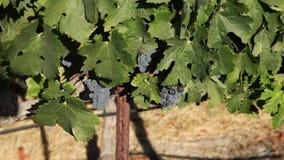 Uvas rojas en la vid metrajes