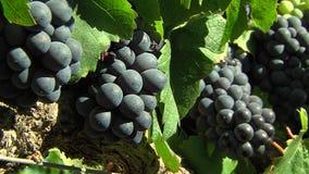 Uvas rojas en un viñedo metrajes