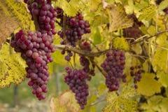 Uvas rojas en vid Imagen de archivo libre de regalías