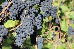 Uvas rojas en viñedo Fotos de archivo