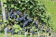 Uvas rojas en viñedo Fotografía de archivo