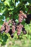 Uvas rojas en viñedo Foto de archivo