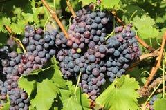 Uvas rojas en viñedo Imagen de archivo