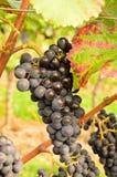 Uvas rojas en yarda del vino en otoño Foto de archivo libre de regalías