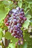 Uvas rojas frescas Foto de archivo libre de regalías
