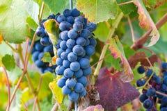 Uvas rojas grandes Fotos de archivo