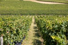 Uvas rojas maduras del Merlot en filas de vides en un vienyard antes de la cosecha del vino en la regi?n de Saint Emilion imagen de archivo libre de regalías