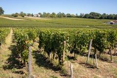 Uvas rojas maduras del Merlot en filas de vides en un vienyard antes de la cosecha del vino en la regi?n de Saint Emilion imagenes de archivo