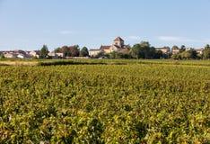 Uvas rojas maduras del Merlot en filas de vides en un vienyard antes de la cosecha del vino en la regi?n de Saint Emilion imagen de archivo
