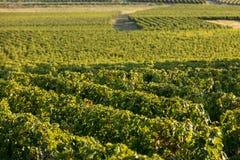 Uvas rojas maduras del Merlot en filas de vides en un vienyard antes de la cosecha del vino en la regi?n de Saint Emilion foto de archivo libre de regalías