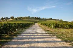 Uvas rojas maduras del Merlot en filas de vides en un vienyard antes de la cosecha del vino en la regi?n de Saint Emilion foto de archivo