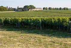 Uvas rojas maduras del Merlot en filas de vides en un vienyard antes de la cosecha del vino en la regi?n de Saint Emilion imágenes de archivo libres de regalías