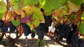 Uvas rojas maduras en el wineyard almacen de video