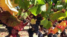 Uvas rojas maduras en el wineyard almacen de metraje de vídeo