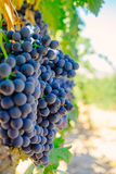 Uvas rojas Tinta de Toro en la vid en Molaleja del Vino, Zamora, España Imagen de archivo libre de regalías