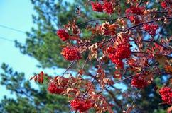 Uvas Rowan Fotos de Stock Royalty Free