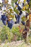 Uvas roxas imagens de stock royalty free