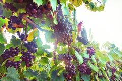Uvas roxas do Muscadine na videira Foto de Stock