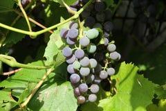 Uvas roxas na videira Imagens de Stock