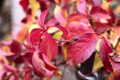 Uvas salvajes de las hojas de otoño con las bayas rojas y amarillas Foto de archivo libre de regalías