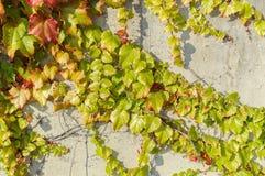 Uvas salvajes en el fondo de la pared en puesta del sol Imágenes de archivo libres de regalías