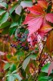 Uvas salvajes en otoño Foto de archivo