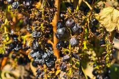 Uvas secadas y apergaminadas en la multa Fotos de archivo