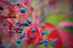 Uvas selvagens coloridas no outono imagens de stock royalty free