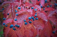 Uvas selvagens coloridas no outono fotos de stock royalty free