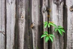 Uvas selvagens da folha no fundo de madeira do vintage com espaço da cópia Fotografia de Stock Royalty Free